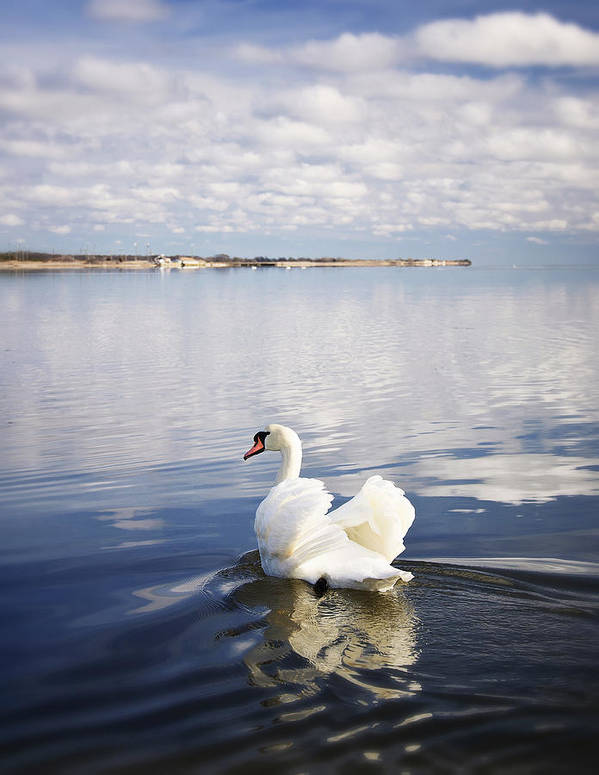 Swan Print featuring the photograph Swan Song by Vicki Jauron