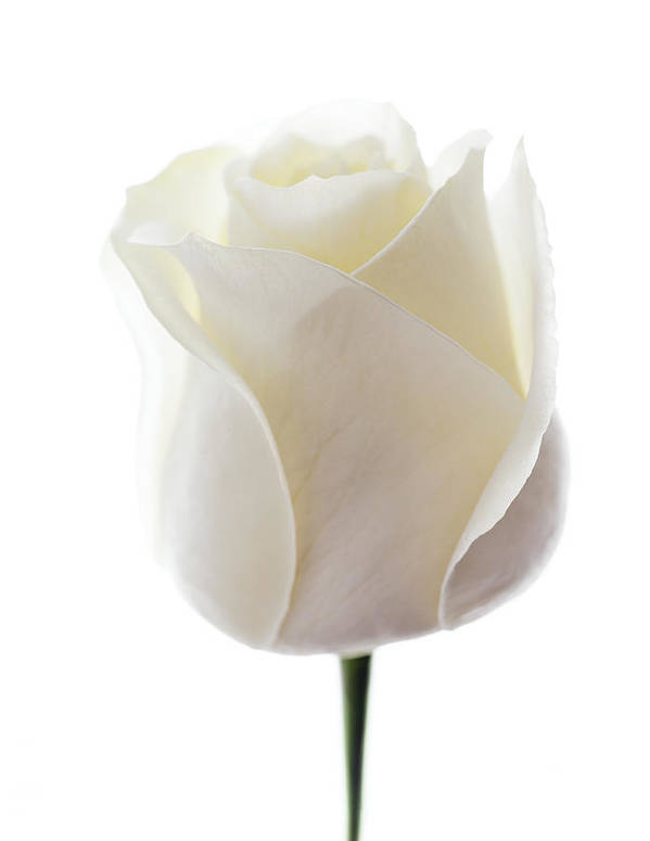 Rosa Sp. Art Print featuring the photograph White Rose (rosa Sp.) by Gavin Kingcome