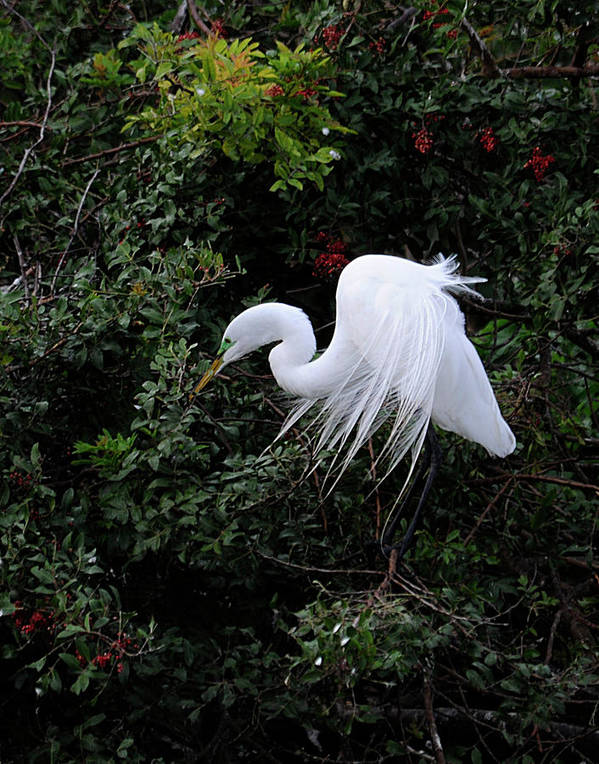 Egret Art Print featuring the photograph Great Egret by Keith Lovejoy