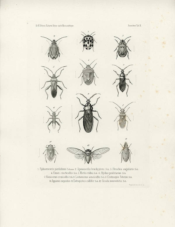 True Bugs Art Print featuring the drawing African Bugs And Insects by W Wagenschieber