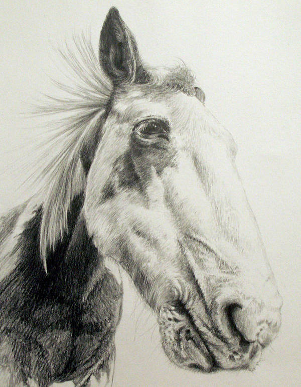 American Paint Horse Art Print featuring the drawing American Paint Horse by Keran Sunaski Gilmore