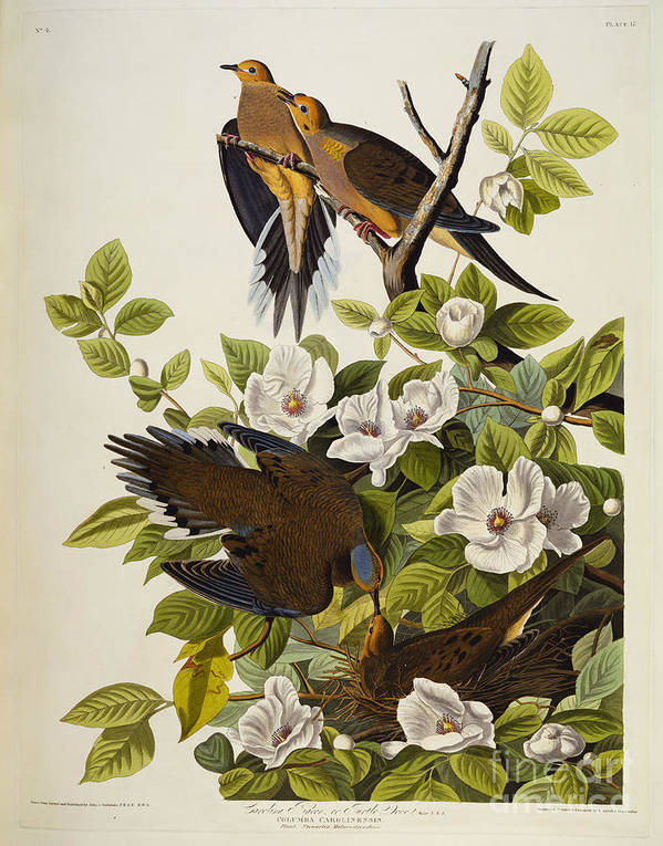 Carolina Turtledove. Mourning Dove Art Print featuring the drawing Carolina Turtledove by John James Audubon