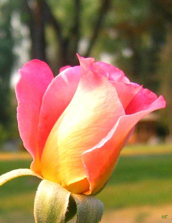 Rose Art Print featuring the photograph Country Rose by Will Borden