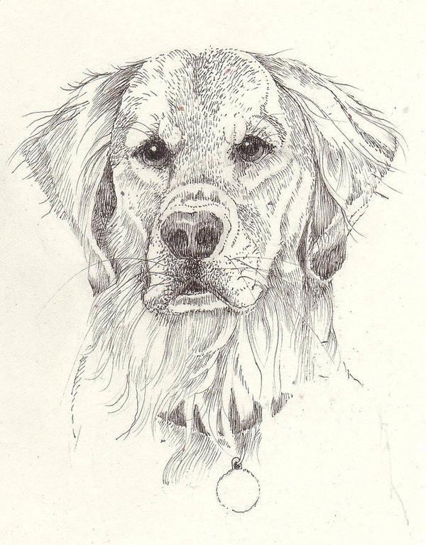 Dog Art Print featuring the drawing Golden by Deborah Wetschensky