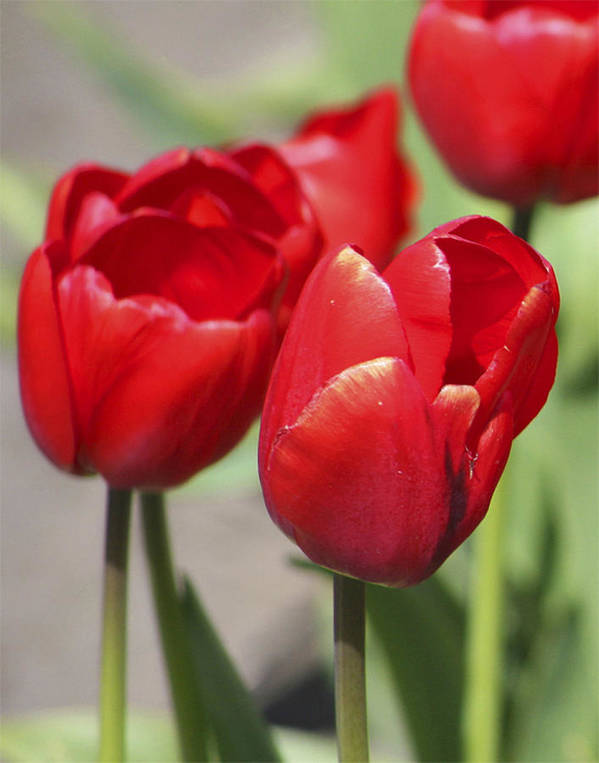 Tulips Art Print featuring the photograph Luscious Tulips by Mary Gaines