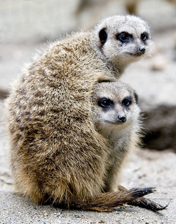Animals Art Print featuring the photograph Meerkats by Jerry Weinstein