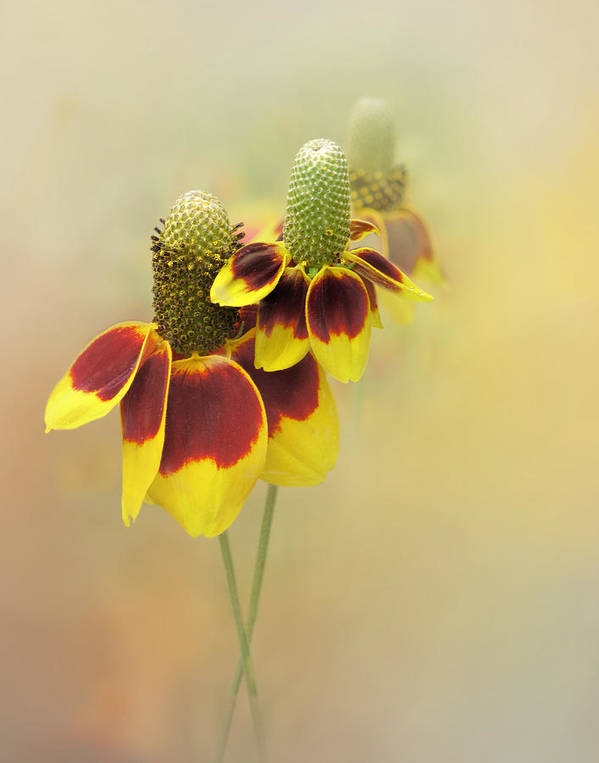 Bloom Art Print featuring the photograph Mexican Hat II by David and Carol Kelly