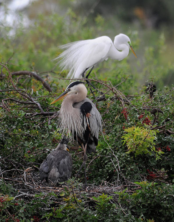 Egret Art Print featuring the photograph Nesting by Keith Lovejoy