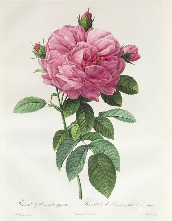 Rosa Print featuring the drawing Rosa Gallica Flore Giganteo by Pierre Joseph Redoute