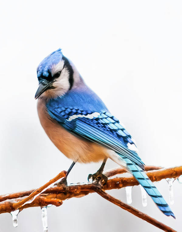 Bird Art Print featuring the photograph Royal Blue by Ron McGinnis