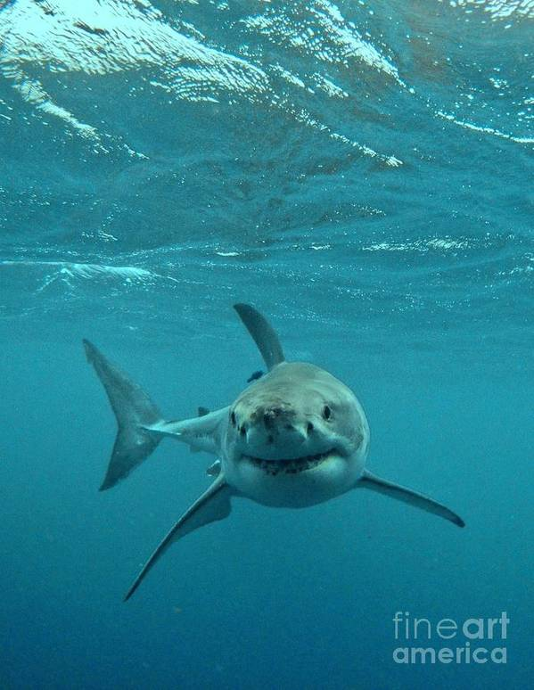 Great White Shark Print featuring the photograph Smiley Shark by Crystal Beckmann