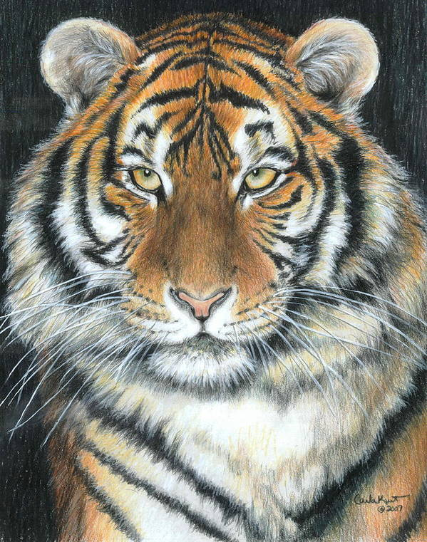 Tiger Art Print featuring the drawing Songha by Carla Kurt