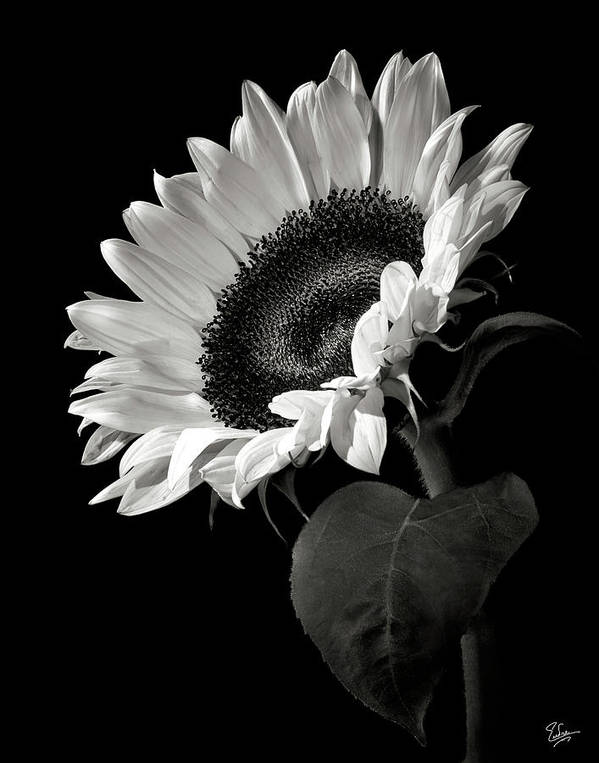 Flower art print featuring the photograph sunflower in black and white by endre balogh