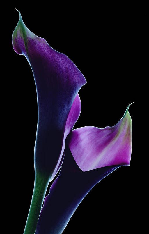 Floral Art Print featuring the photograph Midnight Callas by Marsha Tudor