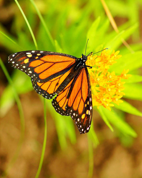 Monarch Art Print featuring the photograph Monarch Butterfly by Carol Toepke