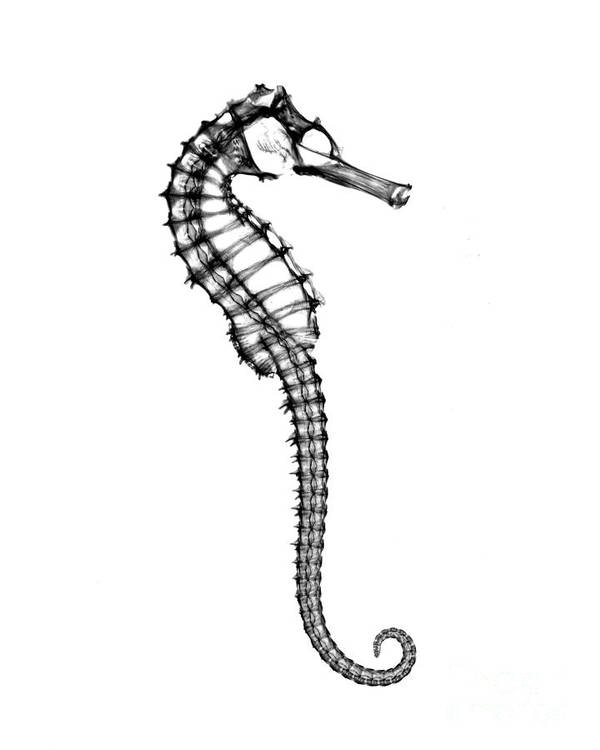 X-ray Of Seahorse Art Print by Bert Myers
