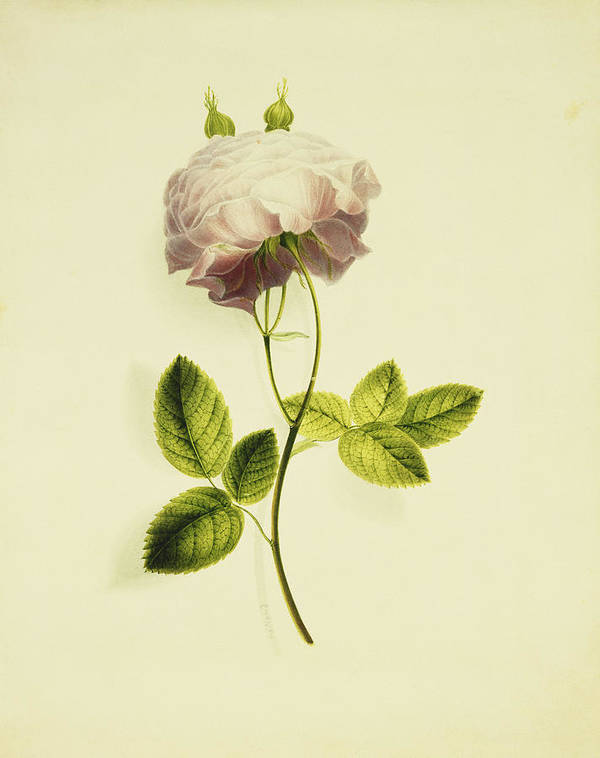 Biology Art Print featuring the painting A Pink Rose by James Holland