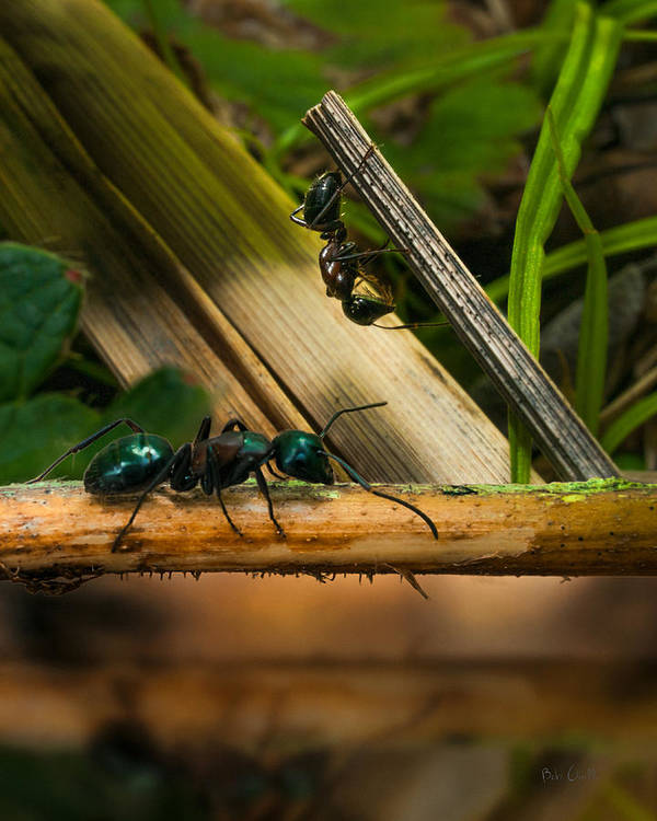 Ant Art Print featuring the photograph Ants Adventure 2 by Bob Orsillo