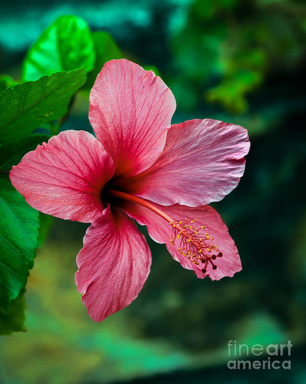 Hibiscus Art Print featuring the photograph Beautiful Hibiscus by Robert Bales