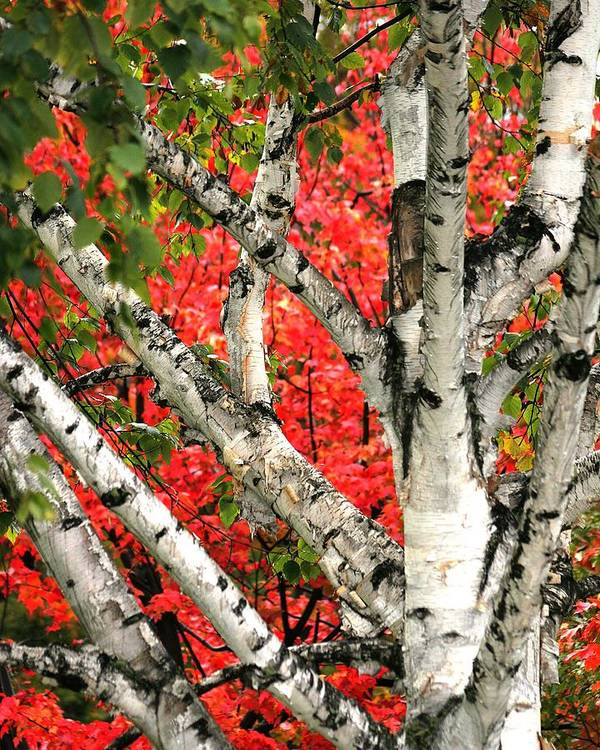 Birch Art Print featuring the photograph Birch Eclipsing Maple by Doris Potter