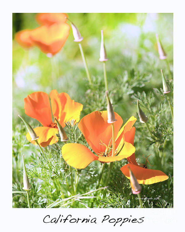 California Poppies Art Print featuring the photograph California Poppies by Artist and Photographer Laura Wrede