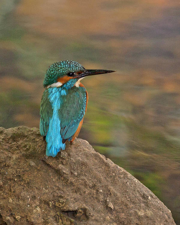 Kingfisher Art Print featuring the photograph Common Kingfisher by Paul Scoullar