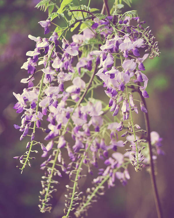 Wisteria Art Print featuring the photograph Fading Romance by Ginger Wagner