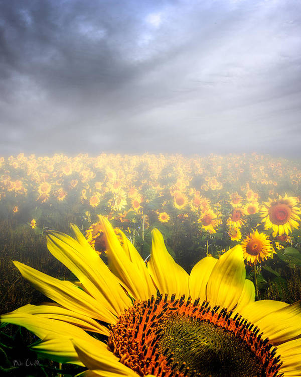 Sunflower Art Print featuring the photograph Foggy Field Of Sunflowers by Bob Orsillo