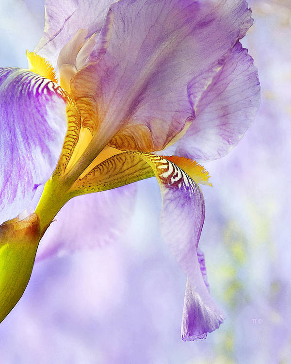 Floral Art Print featuring the photograph Heavenly Iris 2 by Theresa Tahara