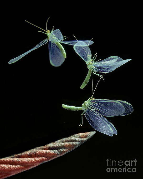Flash Art Print featuring the photograph Lacewing Taking Off by Stephen Dalton