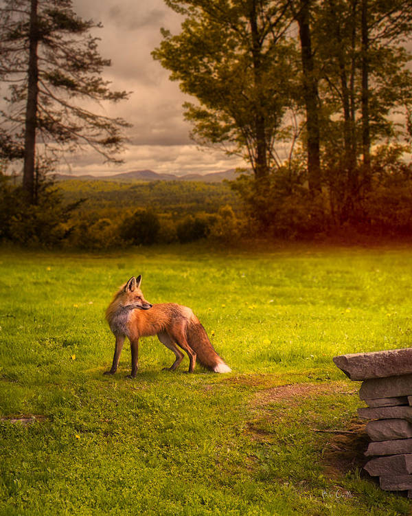 Fox Art Print featuring the photograph One Red Fox by Bob Orsillo