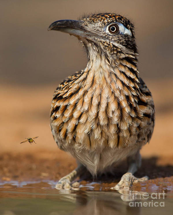 Greater Roadrunner Art Print featuring the photograph Greater Roadrunner No 1 by Jerry Fornarotto