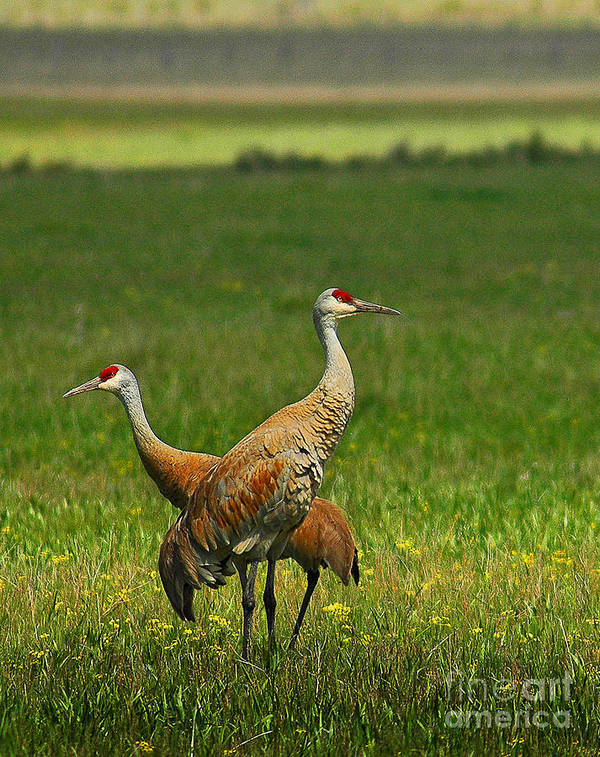 Sandhill Art Print featuring the photograph Sandhill Cranes by Sam Rosen
