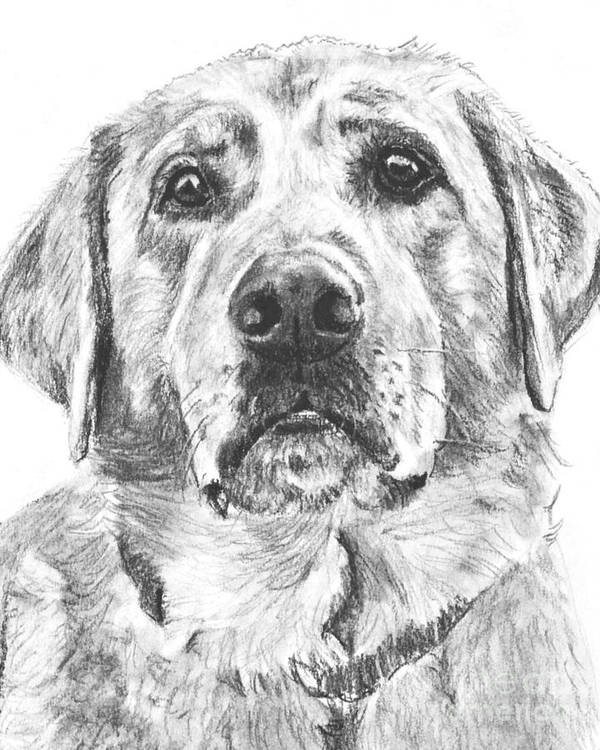 Lab Art Print featuring the drawing Soulful Lab Face by Kate Sumners