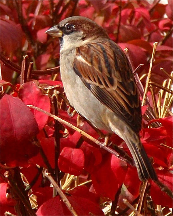 Sparrow Print featuring the photograph Sparrow by Rona Black