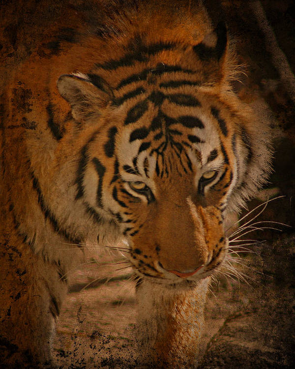 Tiger Art Print featuring the photograph Tiger Art by Cindy Haggerty