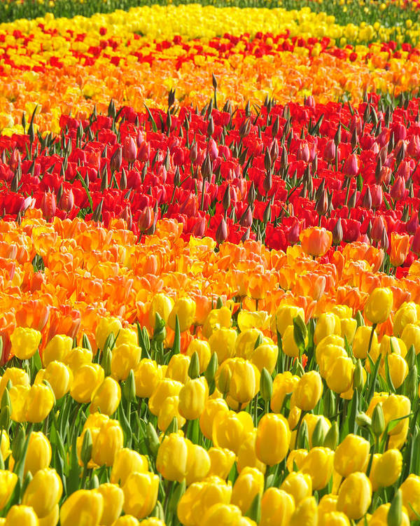 Tulips Art Print featuring the photograph Welcome Spring by Dan Myers