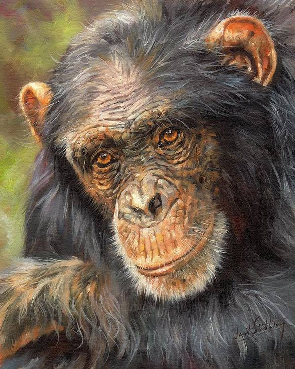 1ccb9b1443b Chimp Art Print featuring the painting Wise Eyes by David Stribbling