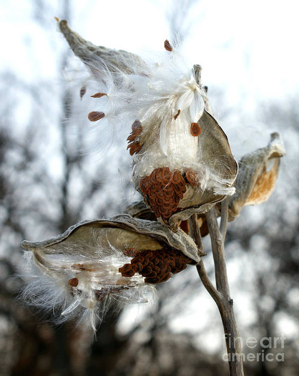 Asclepias Syriaca Art Print featuring the photograph Wisps In The Wind by Valerie Fuqua