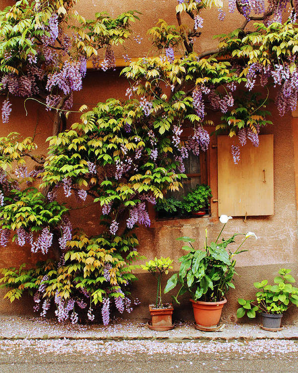 Wisteria Art Print featuring the photograph Wisteria On Home In Zellenberg 4 by Greg Matchick