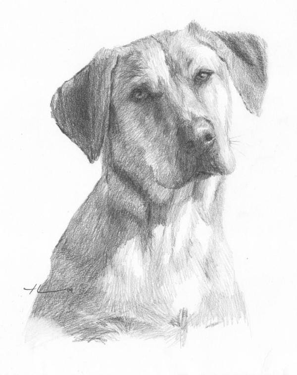 Www.miketheuer.com Yellow Lab Dog Pencil Portrait Art Print featuring the drawing Yellow Lab Dog Pencil Portrait by Mike Theuer
