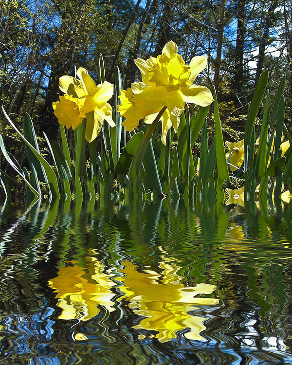 Daffodils Art Print featuring the photograph Flooded Daffodils by Bill Barber