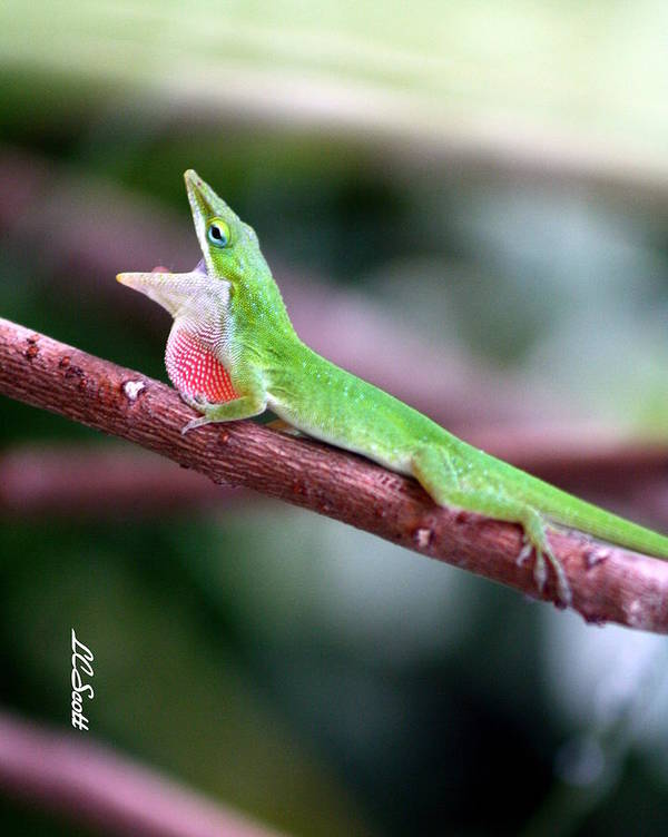 Gren Lizard Art Print featuring the photograph ACK by LC Linda Scott