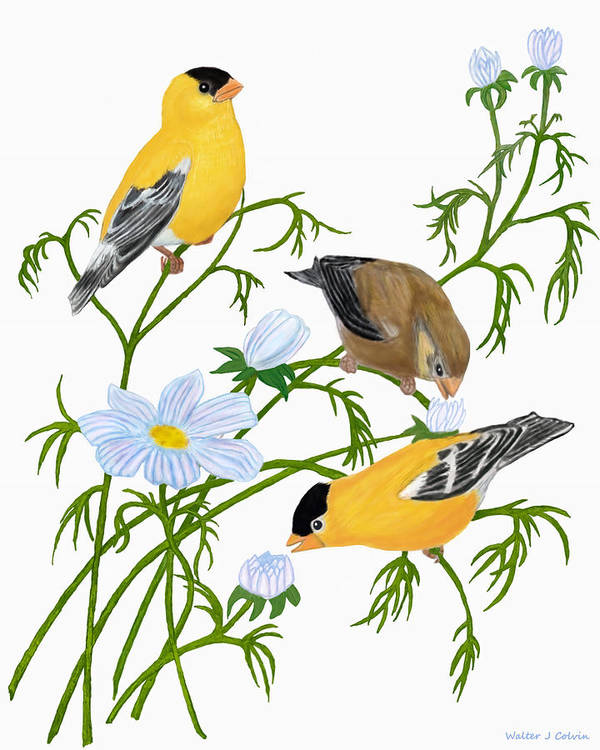 Goldfinch Art Print featuring the digital art American Goldfinch by Walter Colvin