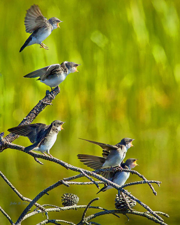Tree Swallows Art Print featuring the photograph Baby Tree Swallows Feeding #1 by John Stoj
