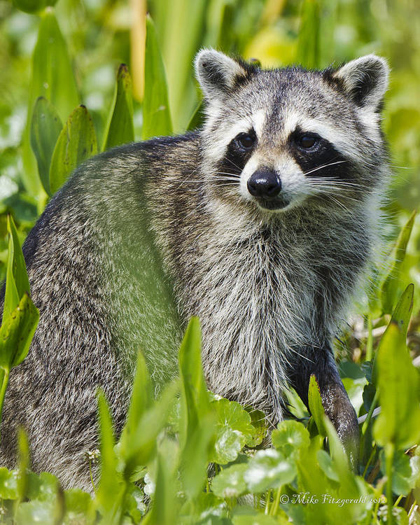 Racoon Art Print featuring the photograph Bandit by Mike Fitzgerald