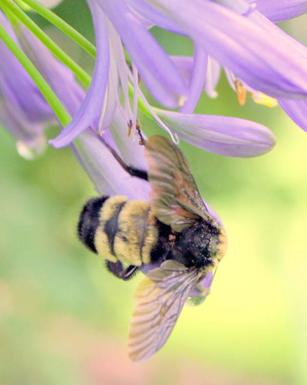 Bumble Bee Art Print featuring the photograph Beglow by LC Linda Scott