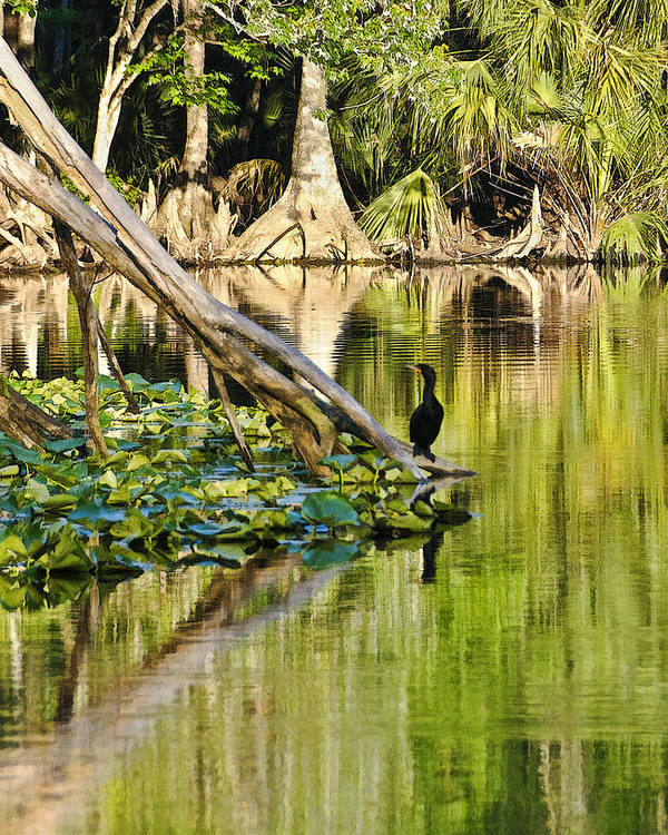 Florida Landscapes Art Print featuring the photograph Cormorant On The River by Betty Eich
