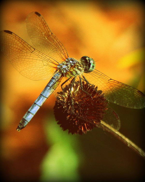 Dragonfly Photographs Art Print featuring the photograph Dragonfly On A Dried Up Flower by Tam Graff