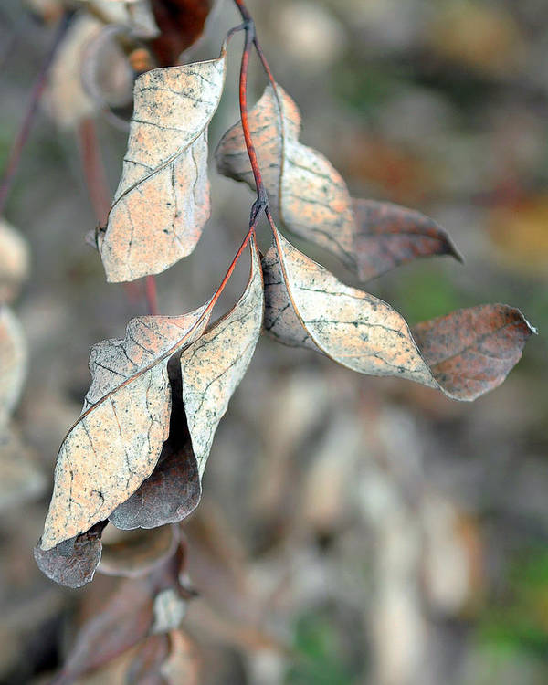 Nature Art Print featuring the photograph Dry Leaves by Lisa Phillips